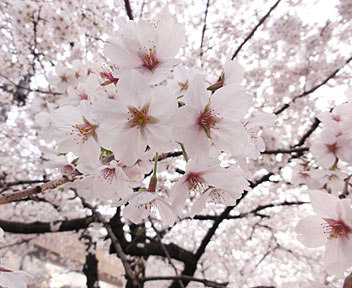 MTCafe Tokyo後、外濠公園でお花見